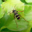 Wasp-mimic long horned beetle