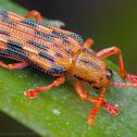 Leaf mining beetle