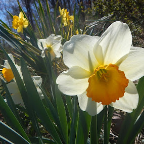 Spring Daffy Blooms by Patrick Jones - Flowers Flower Gardens ( blooms, daffodils, narcissus, spring )