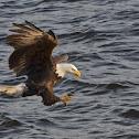 Bald Eagle Miss