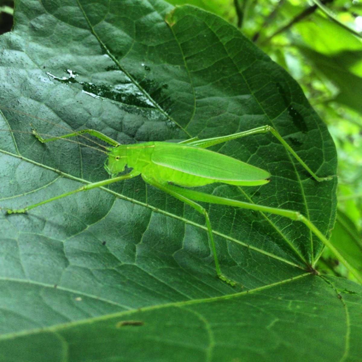 Longhorn grasshopper/Katydid