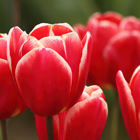 Tulips by Jennifer Wheatley-Wolf - Flowers Flowers in the Wild ( jennifer wheatley-wolf, spring colorful flowers, red, petals, flower arrangements, tulips, flowers )