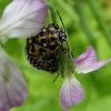 Harlequin cabagge bug