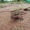 Termite Hill Gecko