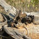 Dwarf Mongoose