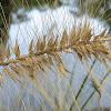 Swamp Foxtail