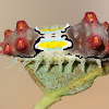 Mottled cupmoth - larva