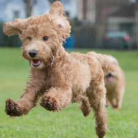 Yahoo by Michael  M Sweeney - Animals - Dogs Puppies ( michaelmsweeneyphotography, labradoodie, adorable dogs, dogphotographer, nikondog, labradoodle, play, fun, michael m sweeney, nikon, run, running )
