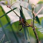Glasswing moth