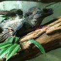 Philipines Sailfin Lizard