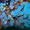 Blue bell tunicates