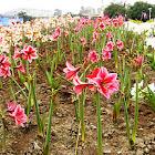 Barbados Lily