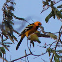 Streak backed oriole