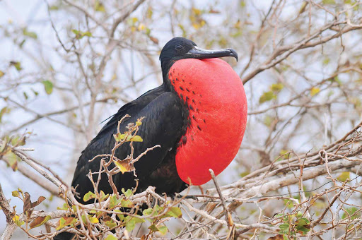A male frigatebird, whose red pouch inflates during breeding season to attract a mate.