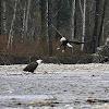 Bald Eagle (flight)