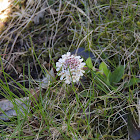 Alpine Pennygrass