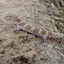 Texas Banded Gecko