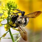 Common Eastern carpenter bee