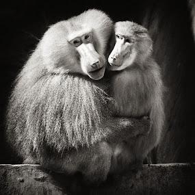 Hug me by Boutheina Ferid - Animals Other Mammals ( love, baboon, hug, cuple, monkey, animal )