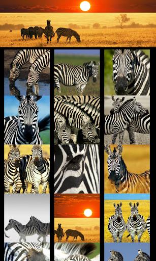 Zebras Animal Wallpapers