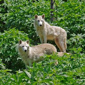 The Alpha Pair by Dyane Kirkland - Animals Other Mammals ( grey wolf, canid, wolf, wolf pair, alpha wolf )