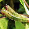 Leaf-feeding sawfly