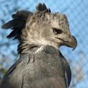 Harpia (Harpy eagle)