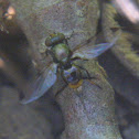 Picture-winged Fly, female