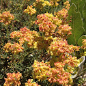 sulfur flower?