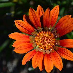 In orange by Lidia Noemi - Flowers Single Flower ( single, petalos, flor, naranjado,  )