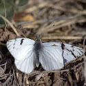 High Andean Butterfly