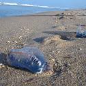 Portuguese Man 'O War Jellyfish