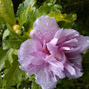 Ardens Rose of Sharon