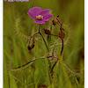 Flycatcher, Sundew, Dew plant, Indian Sundew • Hindi: Kandulessa • Marathi: गवती दवबिंदू Gawati davbindu