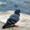 Common Pigeon or Rock Dove or Blue Rock Pigeon