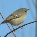 Ruby-crowned Kinglet (f)