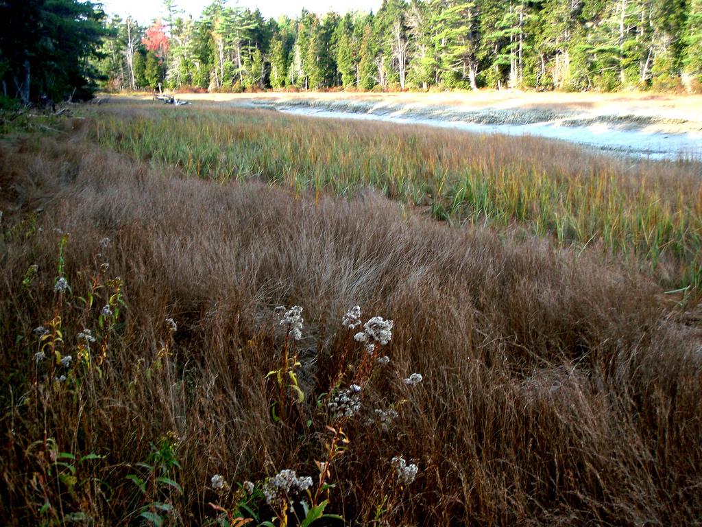 salt marsh grasses