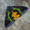 Fruit-piercing Moth (female)