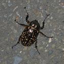 臺灣長臂金龜 / Formosan long-armed scarab