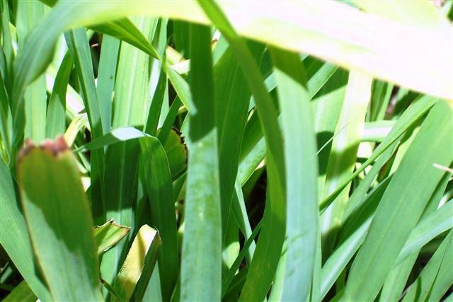 Lemon Grasss