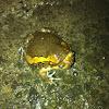 Flower pot toad