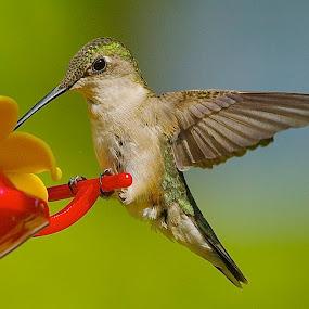 Sweet Nectar by Roy Walter - Animals Birds ( wild, animals, nature, hummingbird, wings, feathers, birds )