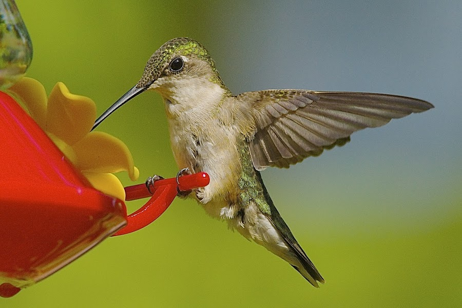 Sweet Nectar by Roy Walter - Animals Birds ( wild, animals, nature, hummingbird, wings, feathers, birds )