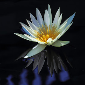 Water Lily Reflection by Sandra Blair - Flowers Flowers in the Wild ( water, reflection, nature, lily, water garden, flower,  )