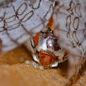 Tiger Moth, laying eggs