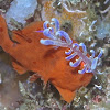 Painted Frogfish & Phyllodesmium Nudibranch