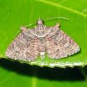 Geometrid Looper Moth