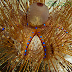 long spined sea urchin