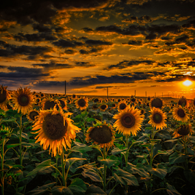 Sunflowers field by Dobrinovphotography Dobrinov - Landscapes Prairies, Meadows & Fields ( plant, illuminated, the natural world, sunflower, yellow, dramatic sky, beauty, romantic sky, landscape, sun, crop, sky, nature, flower head, prints, light, flower, common sunflower, horizon over land, non-urban scene, green, beautiful, twilight, scenics, agriculture, canvas, cloudscape, horizon, beauty in nature, sunlight, dusk, print, field, daisy family, daisy sunflower, dawn, sunset, cultivated land, moody sky, poster, cloud, summer, rural scene, landscapes, land feature, hope )