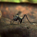 Giant ant Mimic Jumping Spider (male)